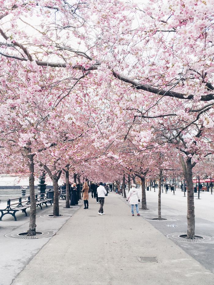 cherry-blossoms-kungstradgard-korsbarsblommor-2015-2