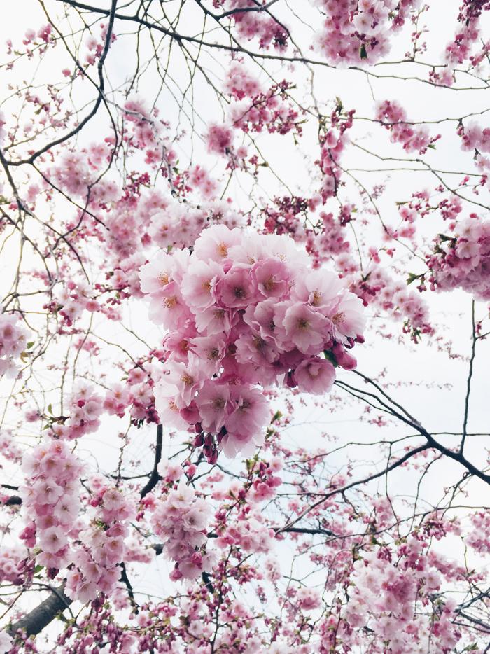 cherry-blossoms-kungstradgard-korsbarsblommor-2015-3