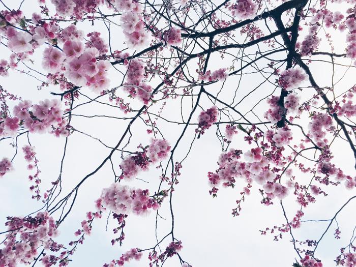 cherry-blossoms-kungstradgard-korsbarsblommor-2015-4