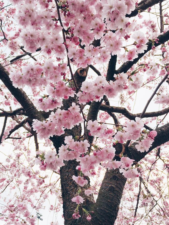 cherry-blossoms-kungstradgard-korsbarsblommor-2015