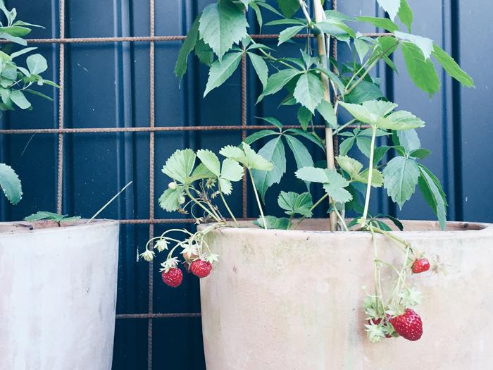 odla-jordgubbar-pa-balkong