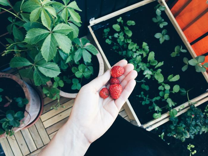 odla-jordgubbar-pa-balkongen